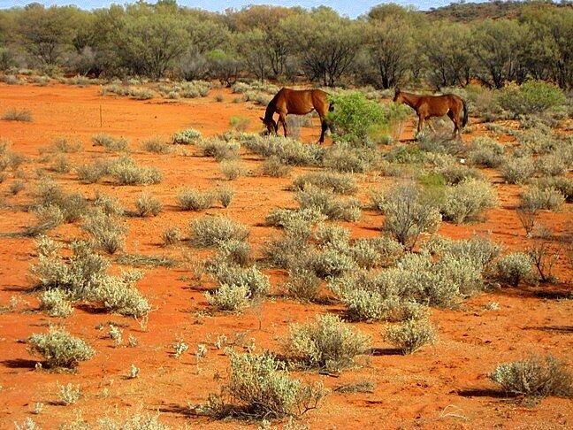 Дикие лошади в Красном Центре Австралии
