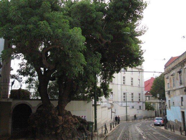 Загадки природы с лиссабонской улицы