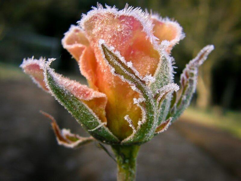 Про розу в инее.