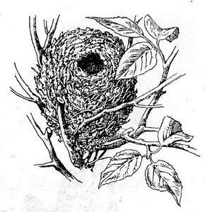 гнездо крапивника