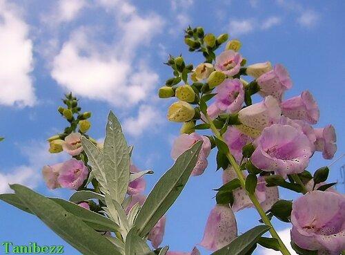 Наперстянка пурпурная / Digitalis purpurea