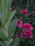 Echinacea Southern Belle (1).JPG