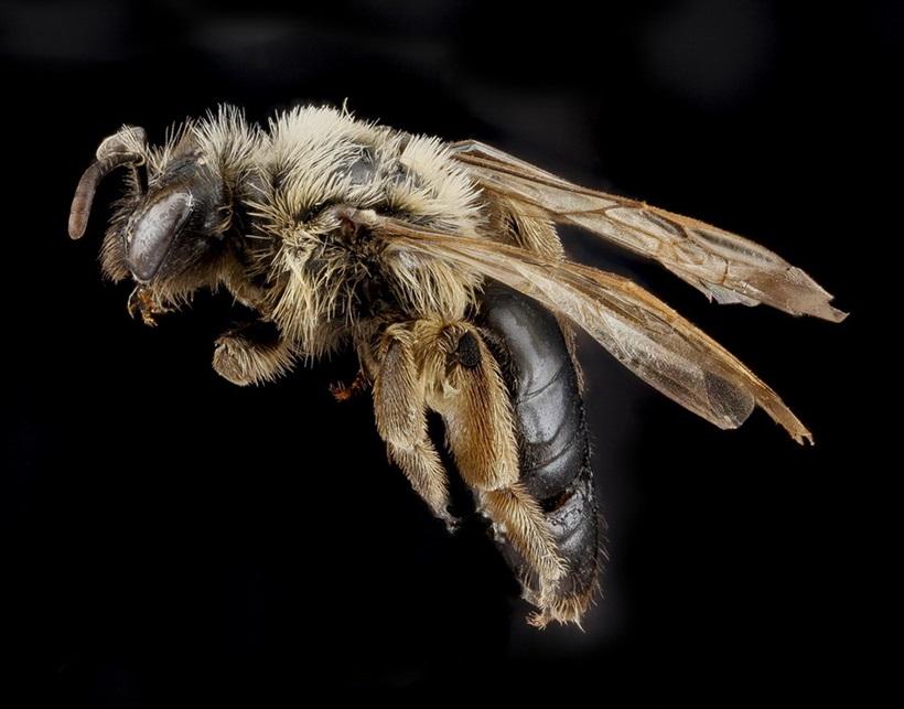 Макрофотографии разноцветных американских пчел 0 13d2ae 6e596383 orig