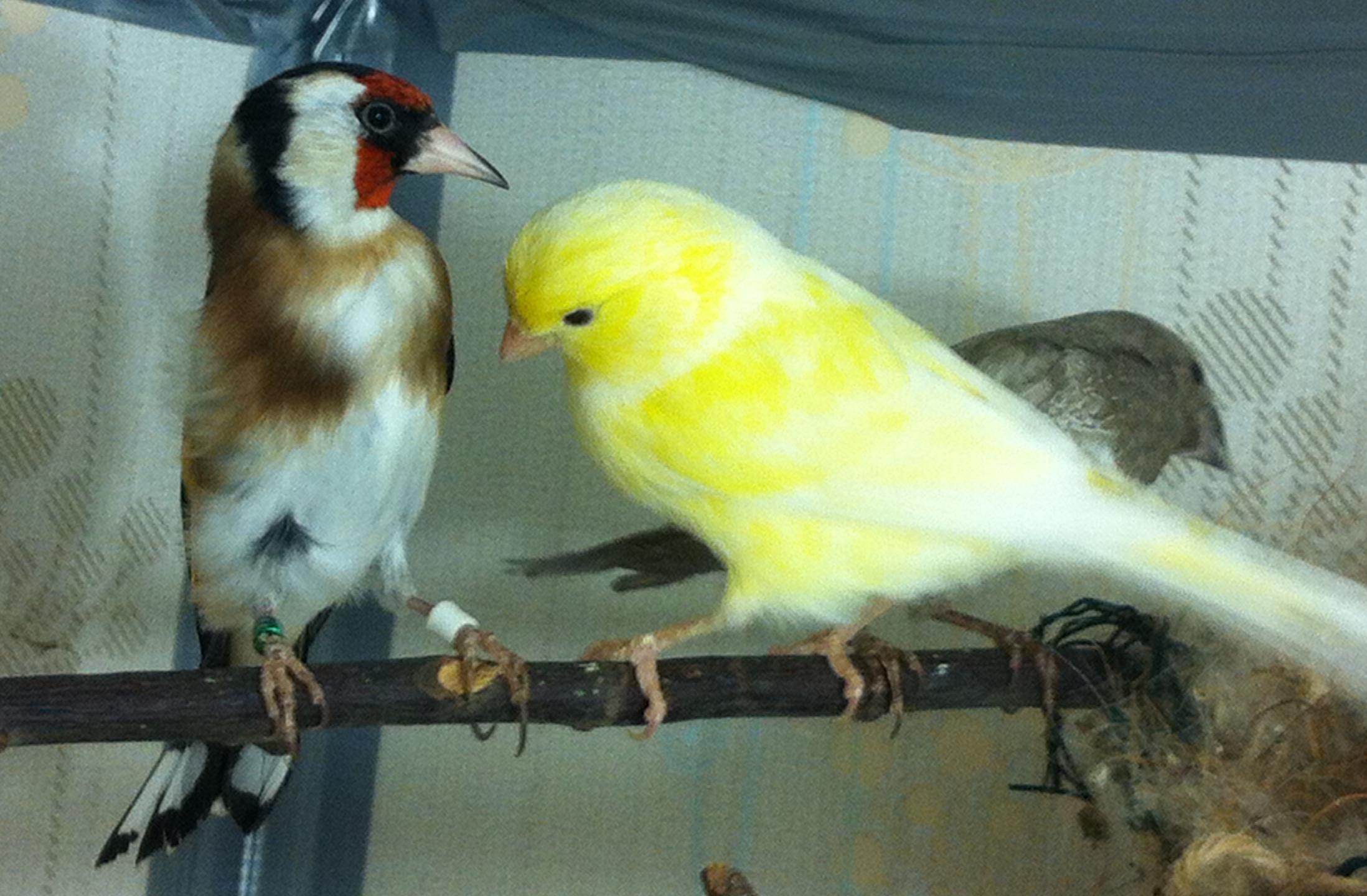 Щегол самец и самка