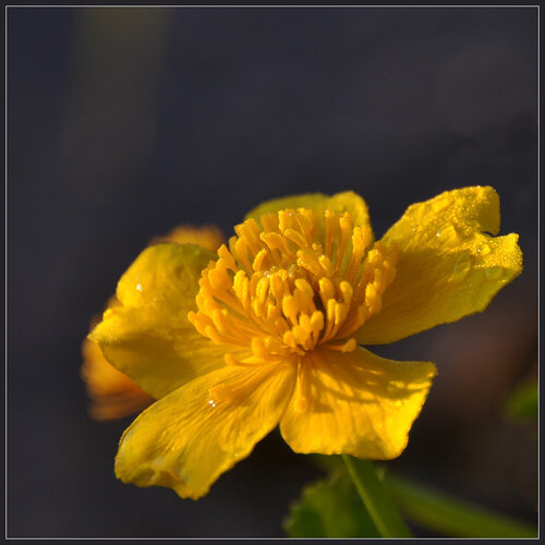 Калужница болотная (Caltha palustris) Автор фото: Владимир Брюхов