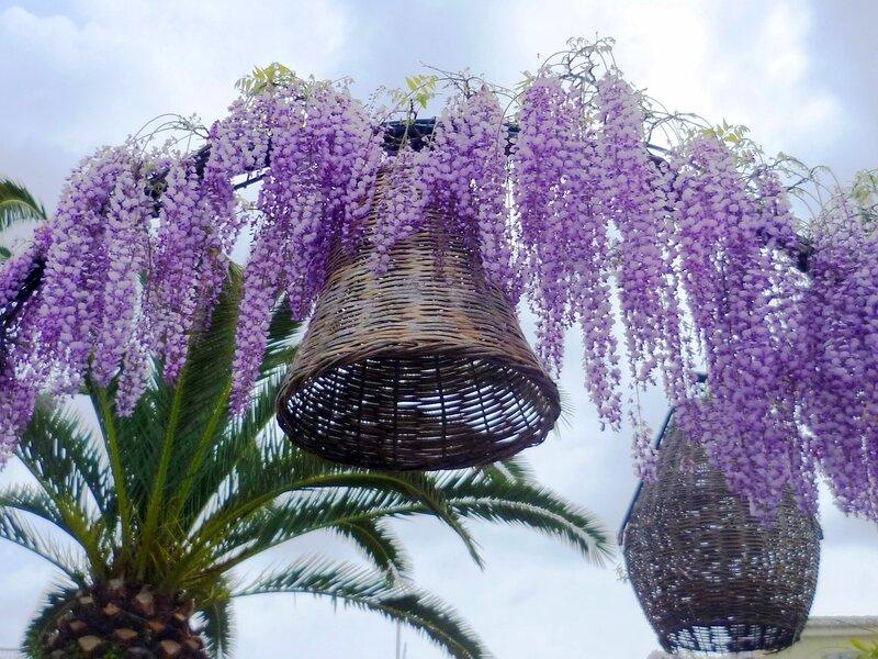 Глициния, или дивное, сказочное растение!