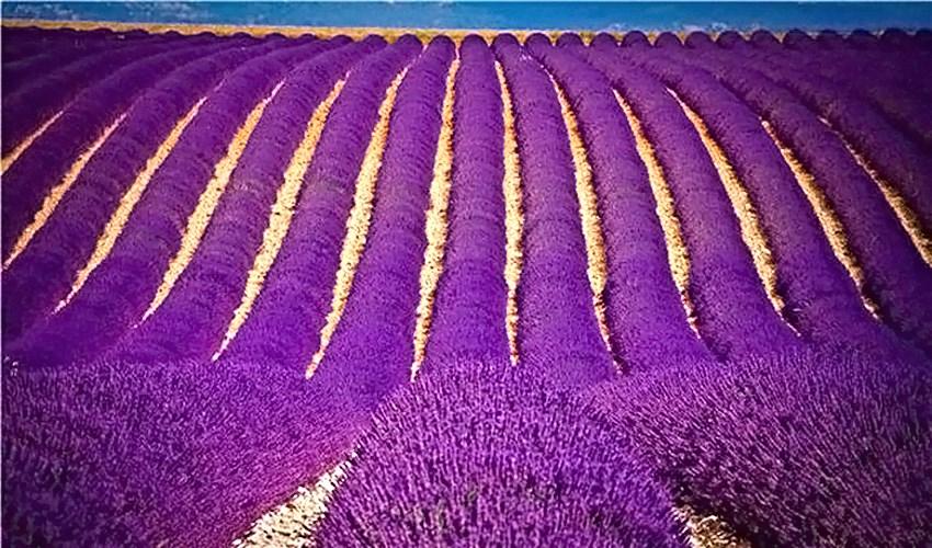 Purple landscapes of Provence_3