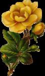 rosengelb25.png
