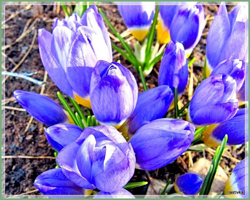 Весенние цветы – их рвать – нельзя!