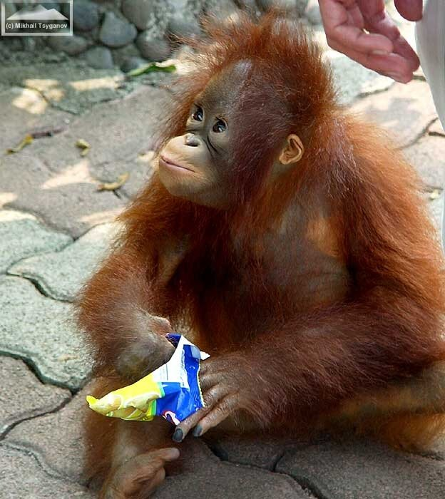 Орангутан на Анчоле