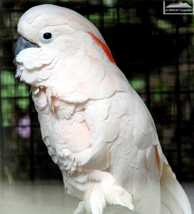 Молуккский какаду