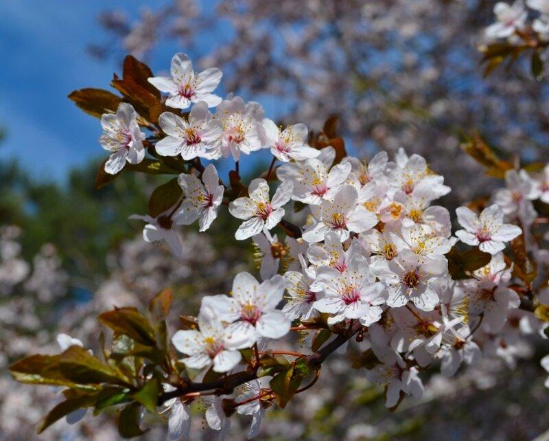 Садов цветенье