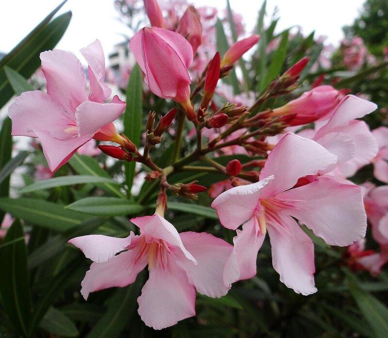 И снова цветет олеандр...