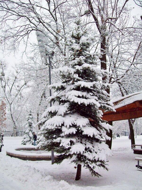 Ель под снегом