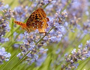 лаванда бабочка