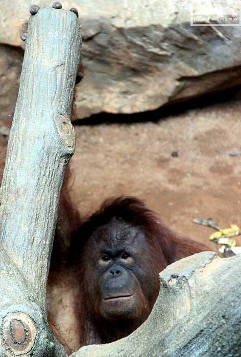 Орангутаны в Рагунане