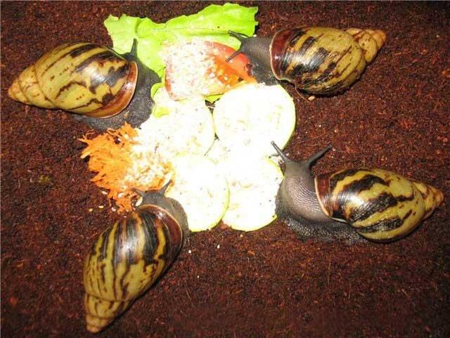 Archachatina camerunensis 0_53f5d_9b9ebef0_XL