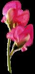 juno Sweet Pea  Pink 2.png