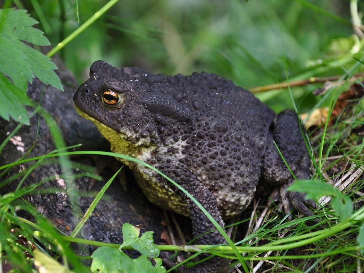 Обыкновенная жаба (Bufo bufo). Автор фото: Владимир Брюхов