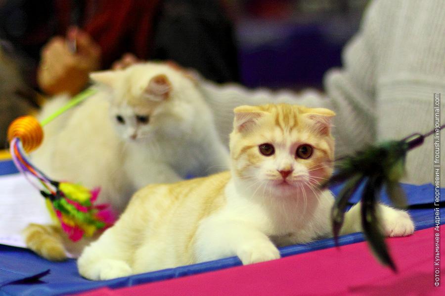 Шотландская вислоухая. Котенок. Питомник «Diamond-cats»