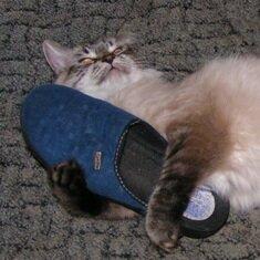 Почему коты гадят в тапки?