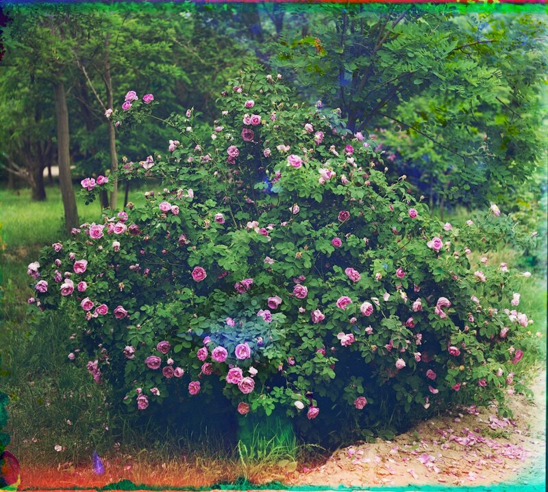 Розы в парке Мургабского имения 20104u.JPG
