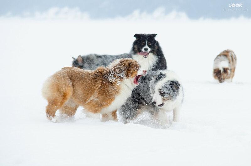 Мои собаки: Зена и Шива и их друзья весты - Страница 6 0_a7713_a0d466bd_XL