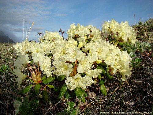 Рододендрон золотистый (Rhododendron Aureum). Камчатка.