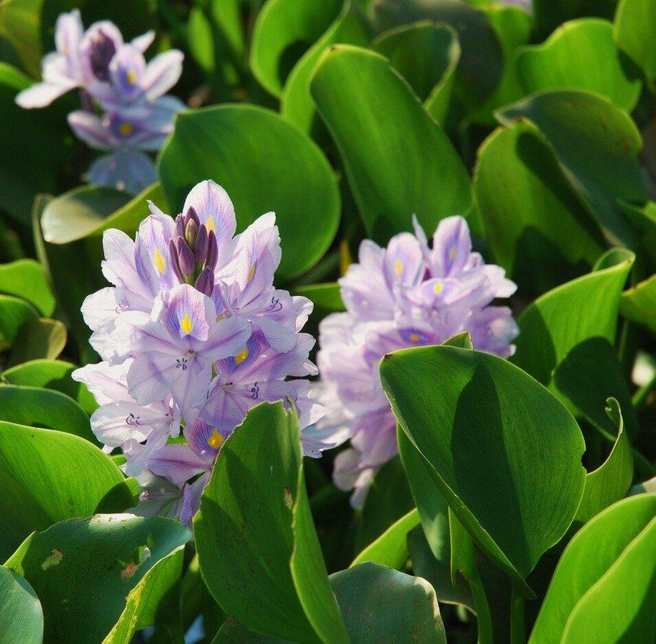 Эйхорния отличная или красивейшая или Водяной гиацинт (Eichhornia crassipes)