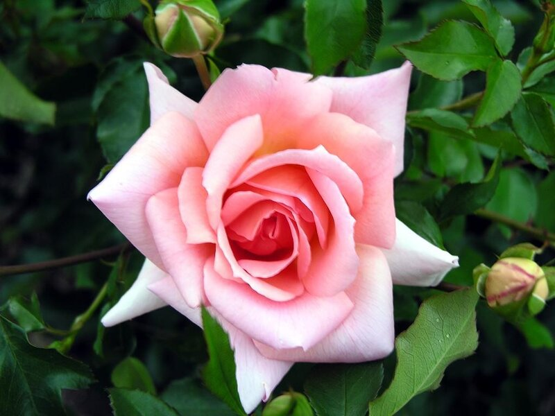 pictures of roses - HD1024×768