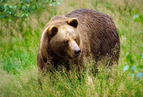 В Финляндии бурый медведь сорвал военные учения