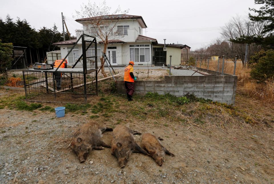 Радиоактивные кабаны наводнили окрестности Фукусимы