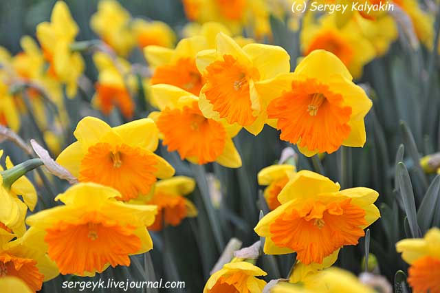Narcissus Akita.JPG