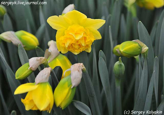Narcissus Twin Flower.JPG