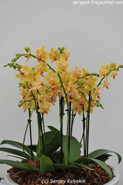 Phalaenopsis Sunny Smell (2).JPG