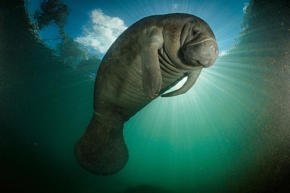 34. Гренландский кит поднимается к поверхности моря.