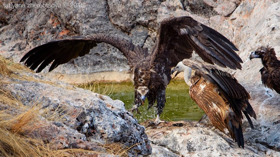 8. После купания начинается процесс сушки и чистки перьев. Ещё бы! Так намочиться — это надо ещ