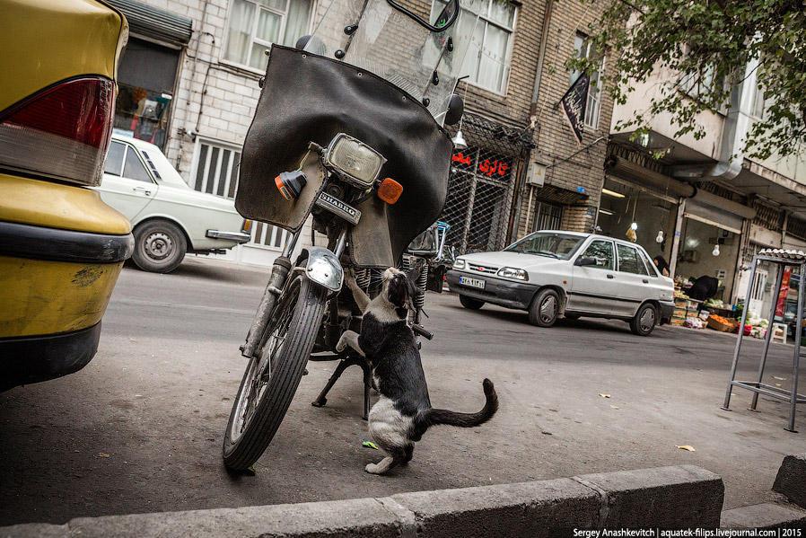 41. Кошка-байкер пытается залезть на свой мотоцикл. Кстати, кошек в Иране совсем немого, хотя иногда