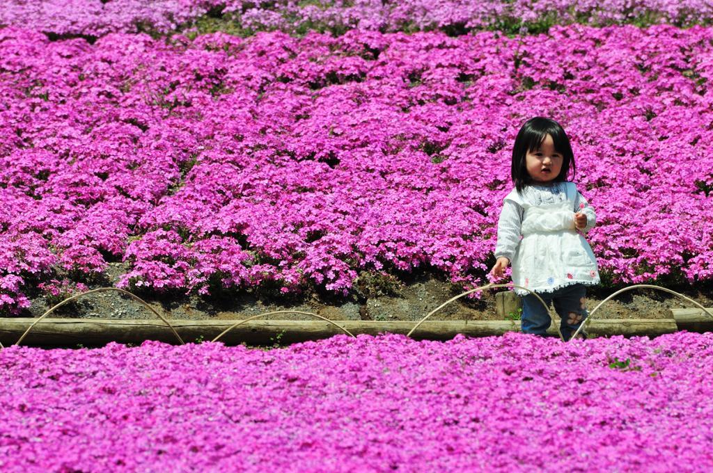 Япония. Парк Hitsujiyama. Цветение флокс. (ajari)