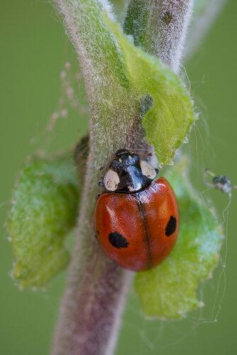 Семейство Coccinellidae Автор фото: Владимир Брюхов