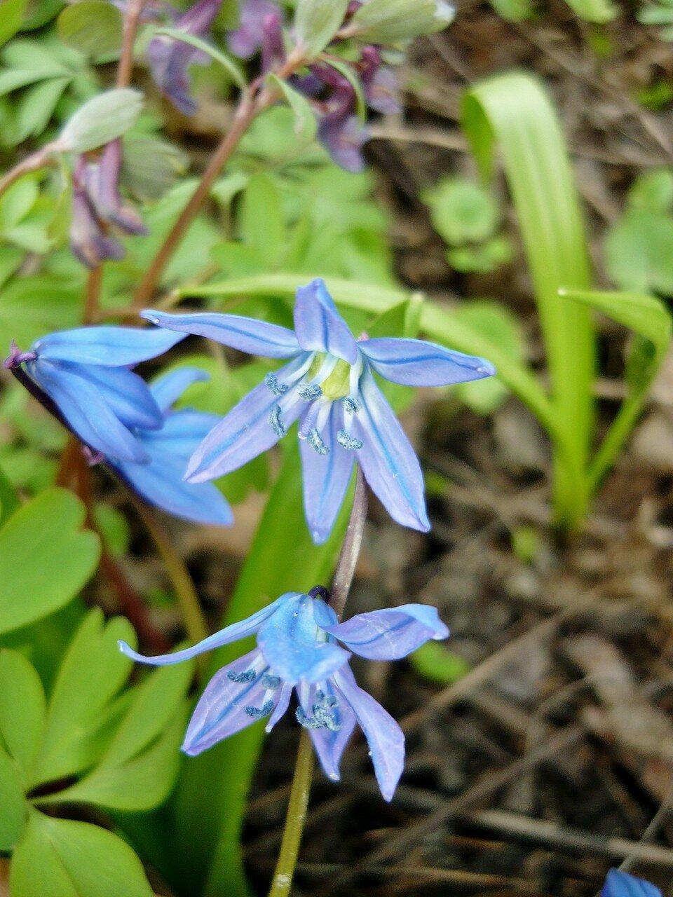 Цветок сцилла сибирская