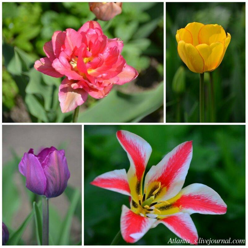 Тюльпаны 3.jpg