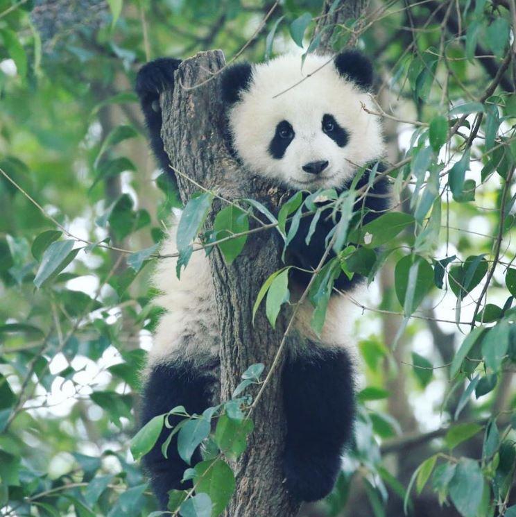 Большая панда требует внимания