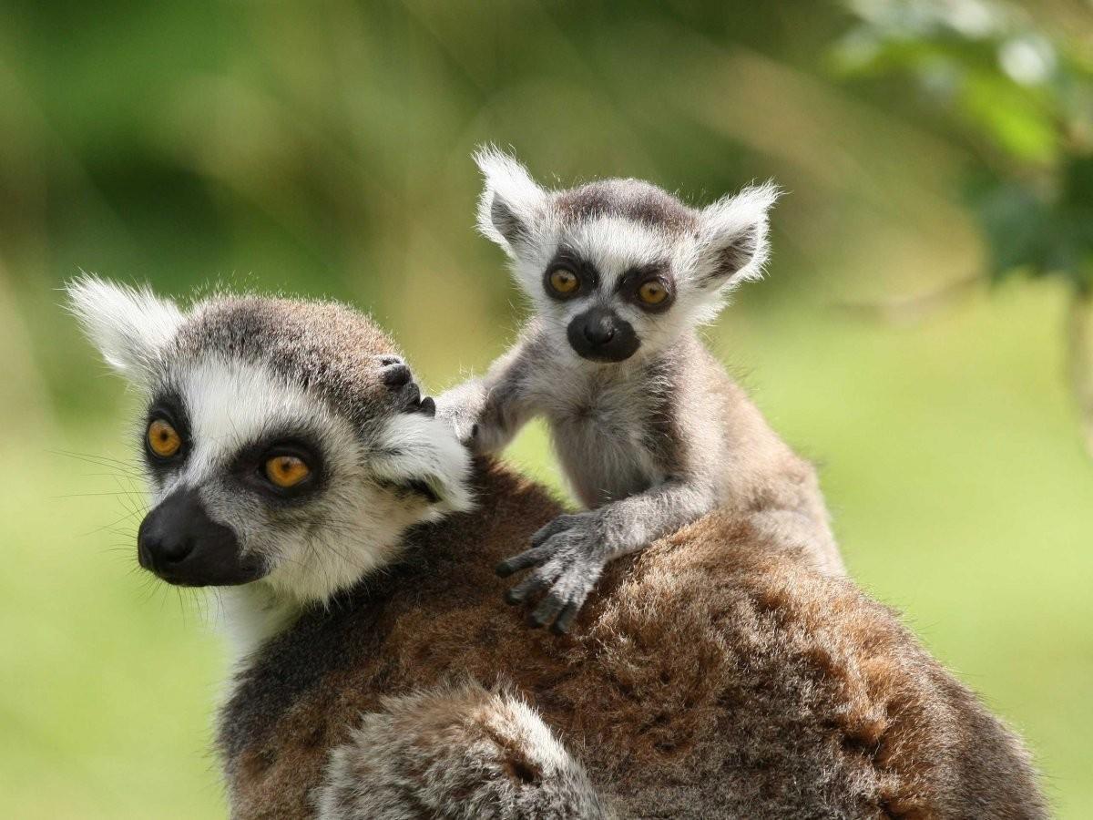 61. Сфотографируйте забавных лемуров на Мадагаскаре.