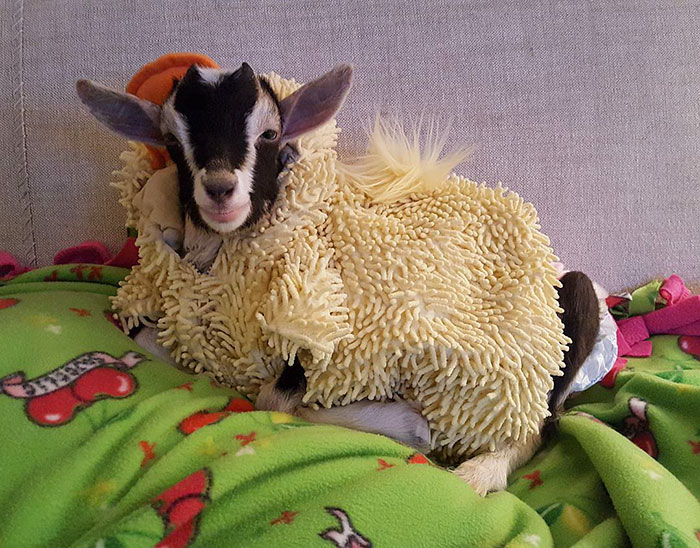 Слепая коза, страдающая от тревоги, может успокоиться только в своем любимом костюме утки
