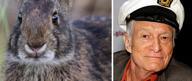 9. Кролик Sylvilagus palustris hefneri и Хью Хефнер. Вполне логично, что знаменитый создатель импери