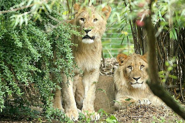 Из германского зоопарка убежали два льва