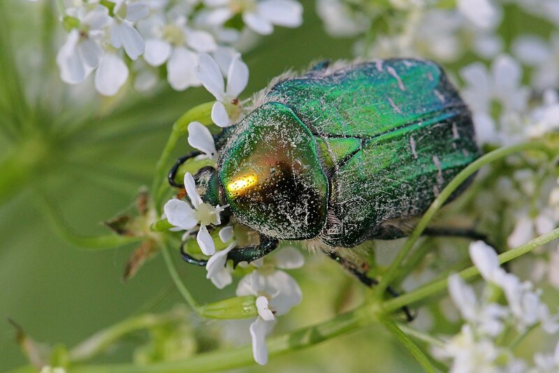 Зелёный, металлически блестящий жук бронзовка золотистая (бронзовка обыкновенная, Cetonia aurata) обедает тычинками и пестиками белых цветков сныти обыкновенной (Aegopodium podagraria)