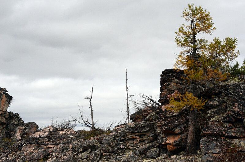 лиственница на скале.jpg