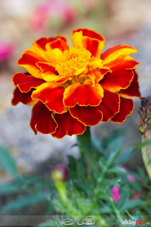 Я люблю все цветы, выпуск 212   Бархатцы.